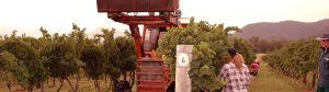 Grape harvest, Broke Fordwich, Hunter Valley