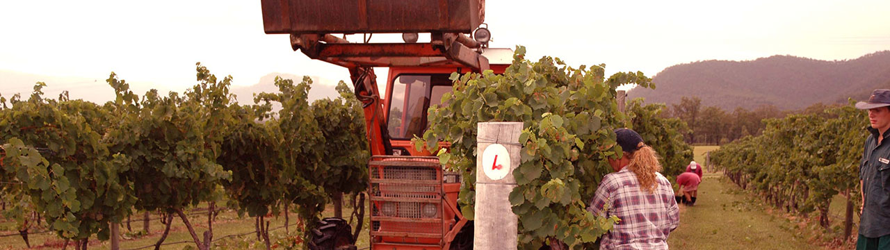 Grape harvest, Broke Fordwich, Hunter Valley