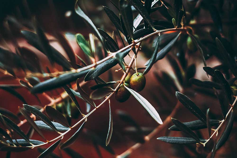 Olive groves of Broke Fordwich, Hunter Valley